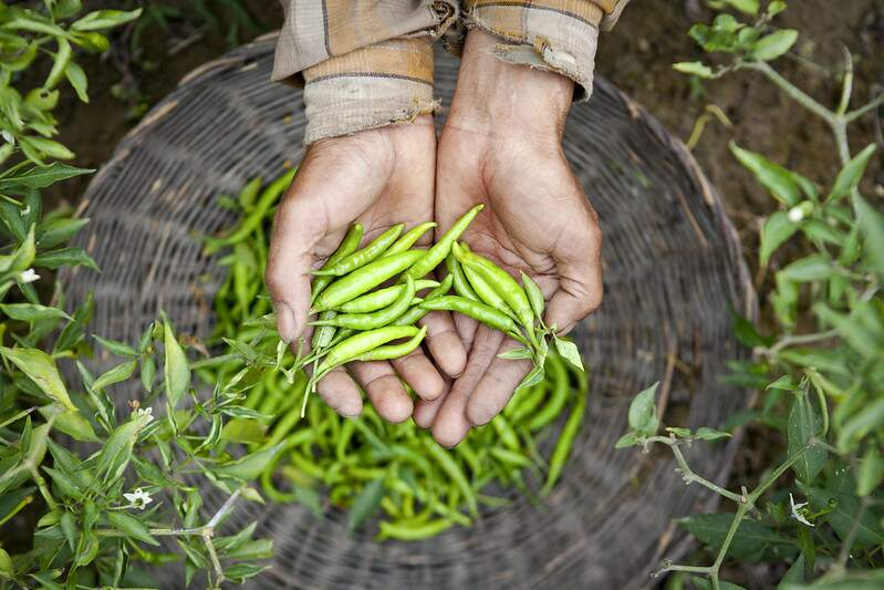 Photo of green chilies in farmer's hands.